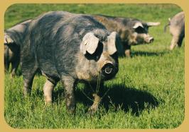 Porc Gascon