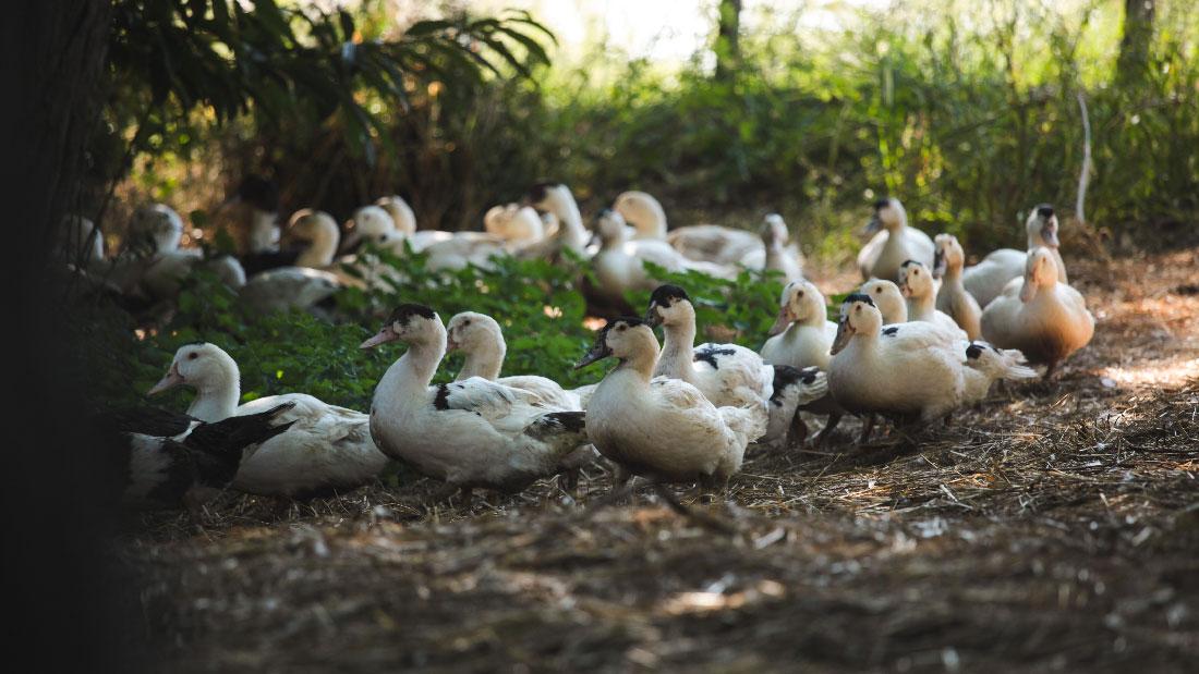Ferme de Belslou, le canard du sud ouest