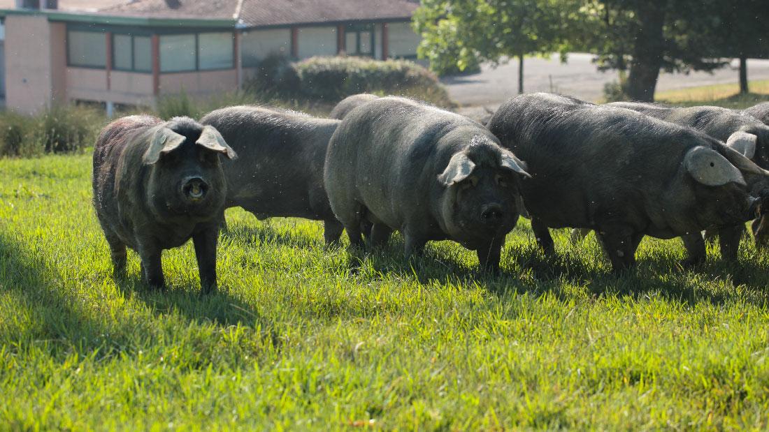 Ferme-de-Belslou-porc-noir-gascon-pate-boudin-hure